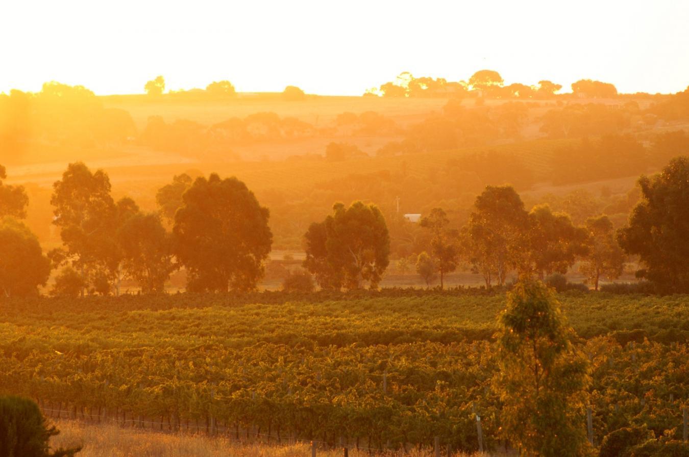 Weinreben im Sonnenuntergang