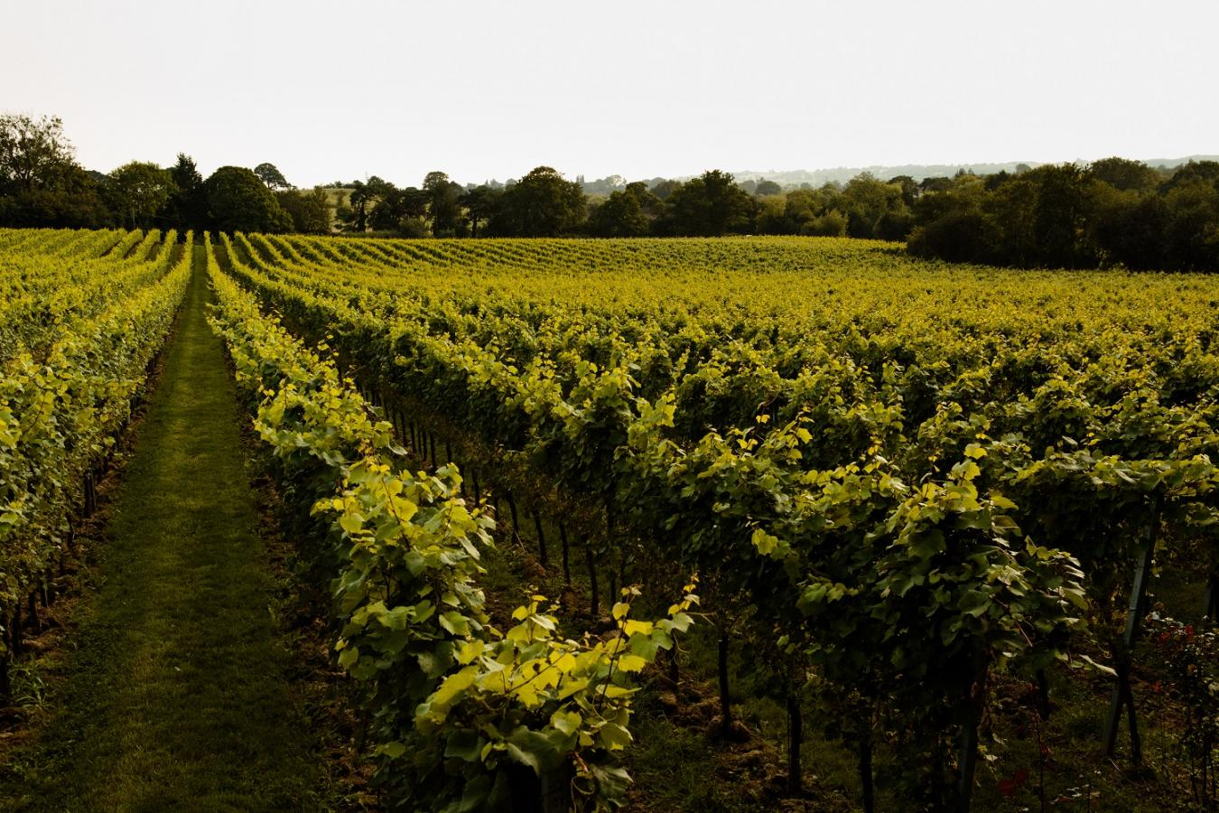 Gusbourne Wineyard